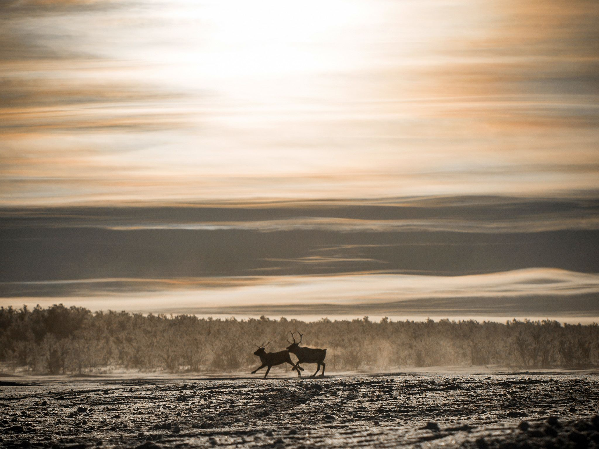 Kautokeino, Norway:  Two reindeer on the snowy expanse in Kautokeino. Not much life thrives here... [Photo of the day - آوریل 2018]