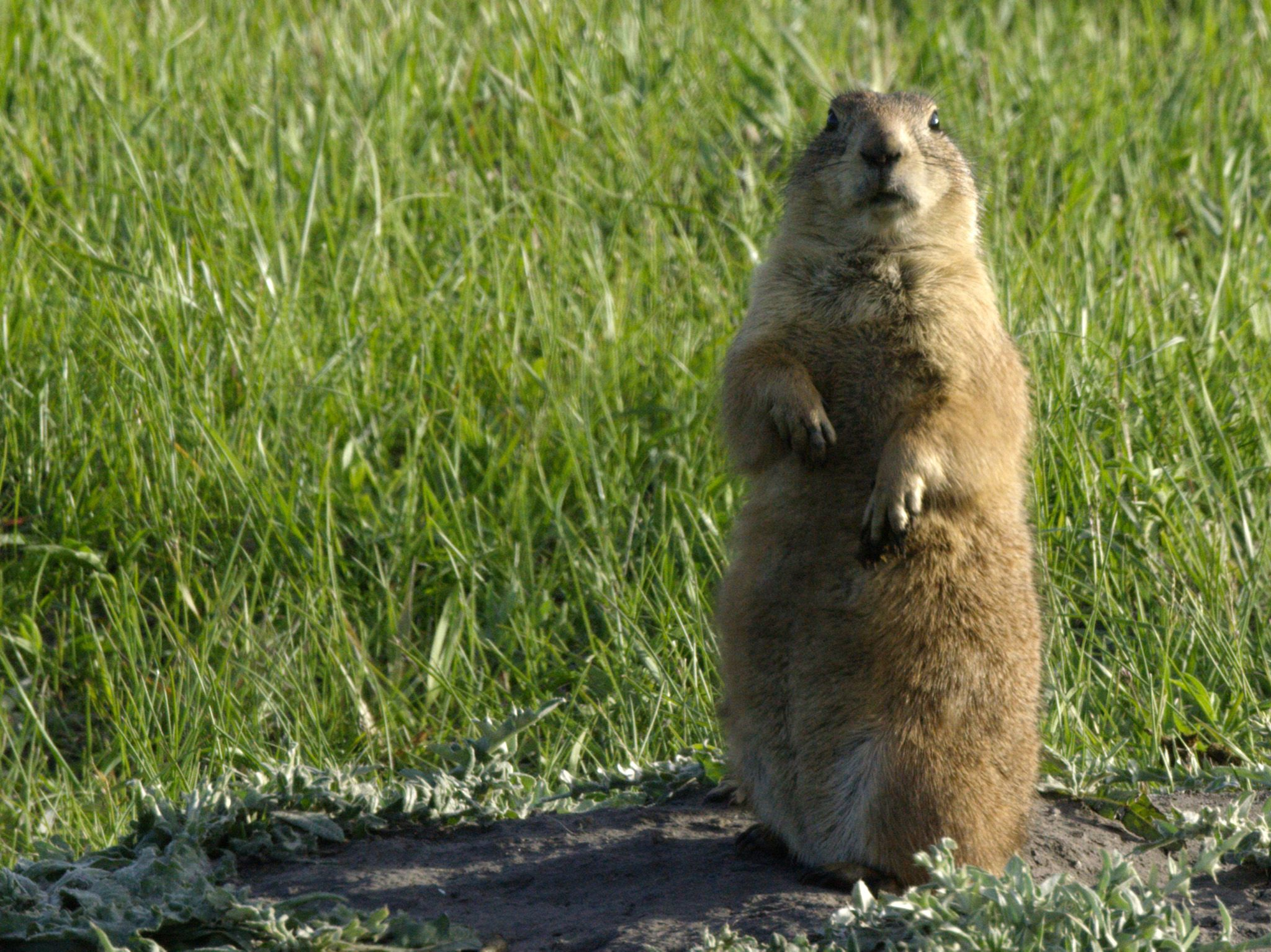 Custer State Park, SD:  A Prairie Dog on its hind legs keeping an eye out for predators. This... [Photo of the day - آوریل 2018]