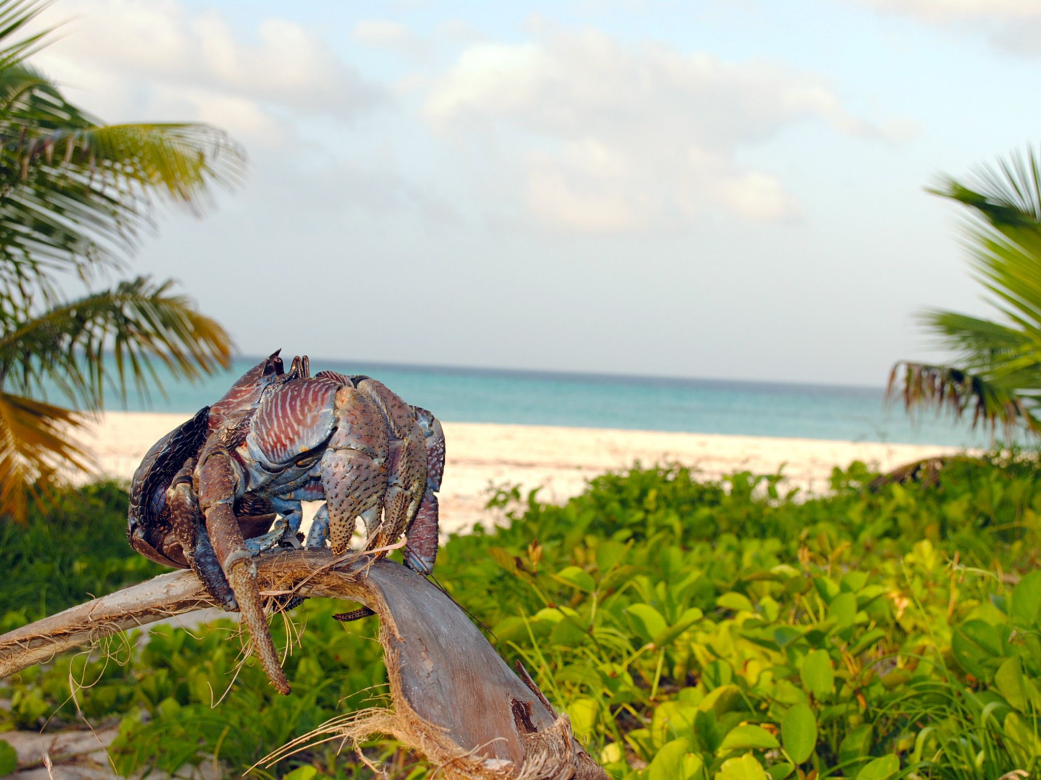 Fanjove Island, Tanzania:  A coconut crab on a palm branch.  This image is from Jane Goodall:... [Photo of the day - آوریل 2018]
