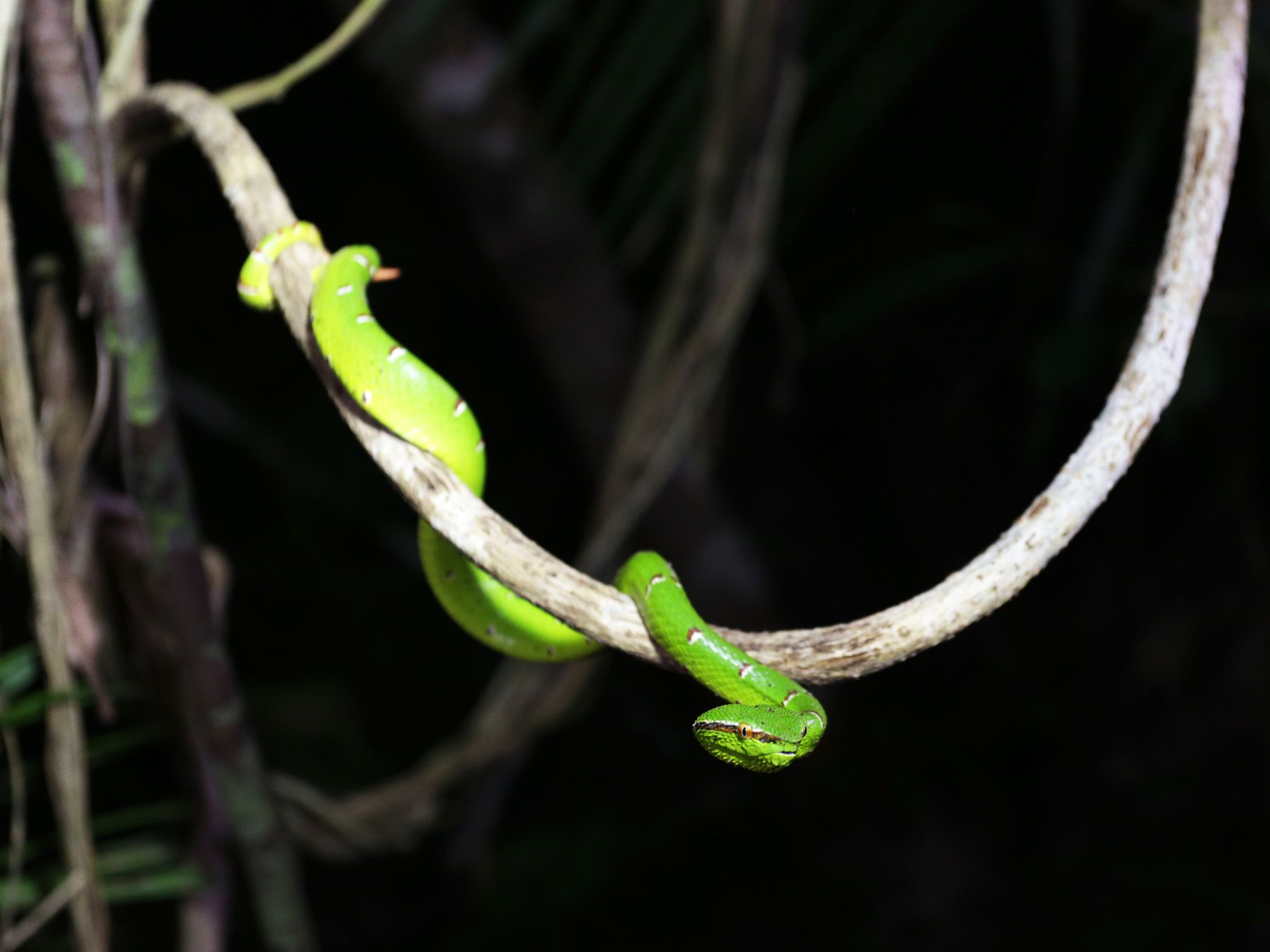 Palawan, Philippines:  Palawan pit viper. This image is from Untamed Philippines. [Photo of the day - آوریل 2018]