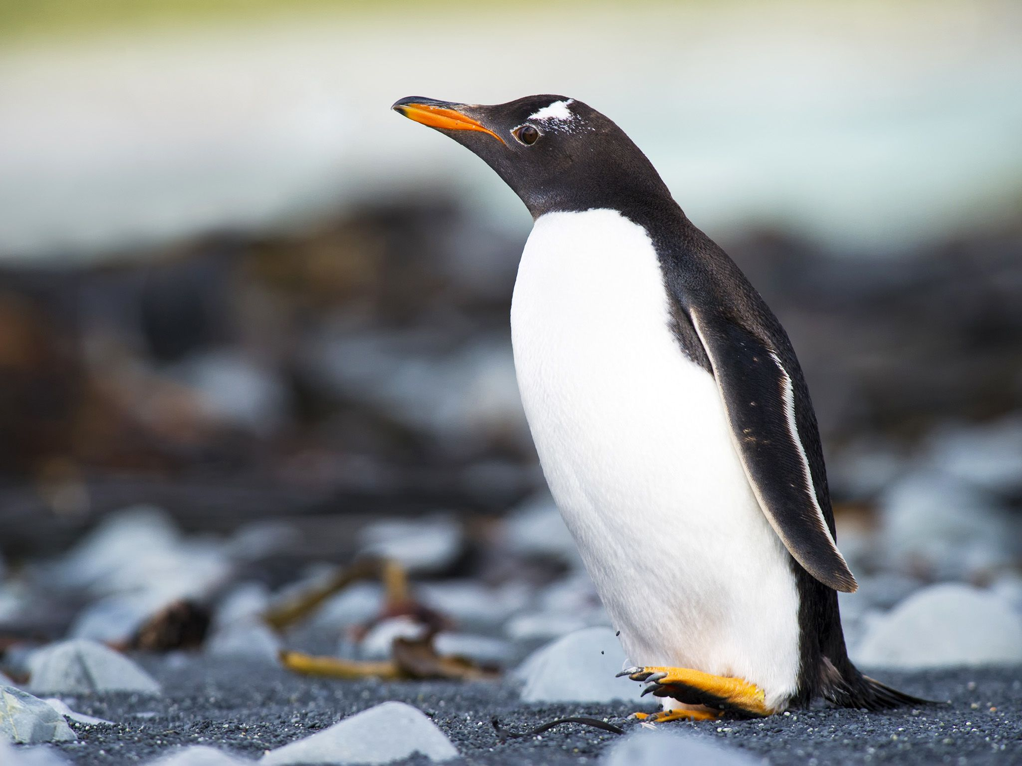 Macquarie Island, Australia:  Gentoo Penguin (Pygoscelis papua) walking on a rocky beach. This... [Photo of the day - May 2018]