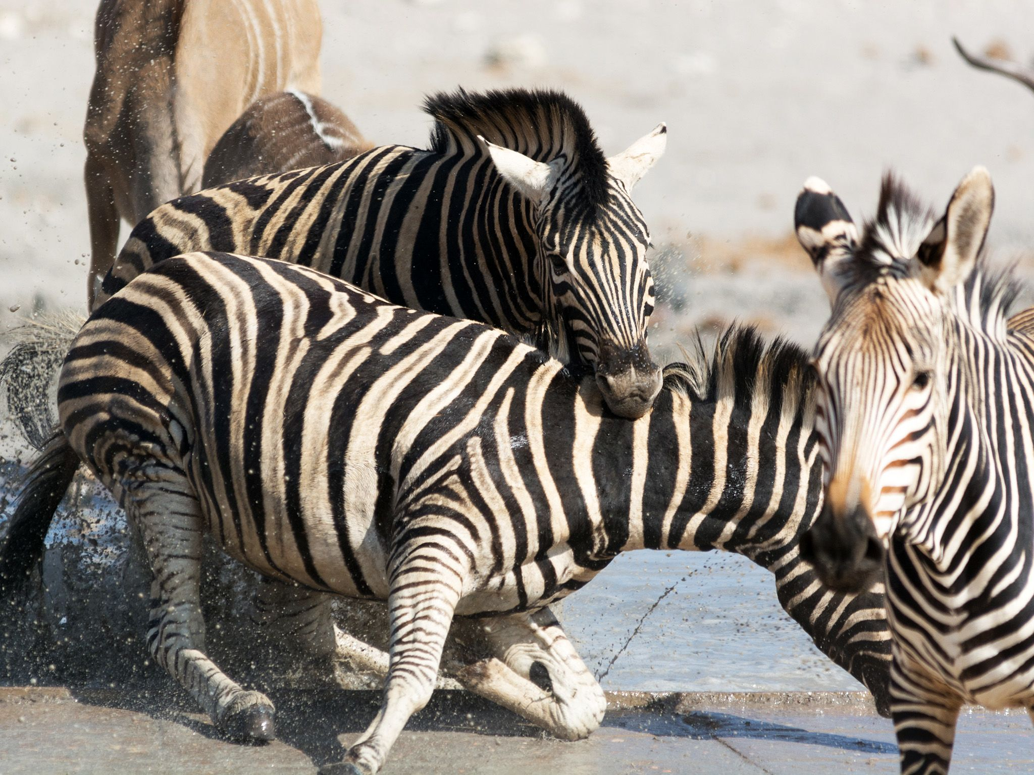 A zebras bites the neck of another zebra. This image is from Animal Fight Club. [Photo of the day - 五月 2018]