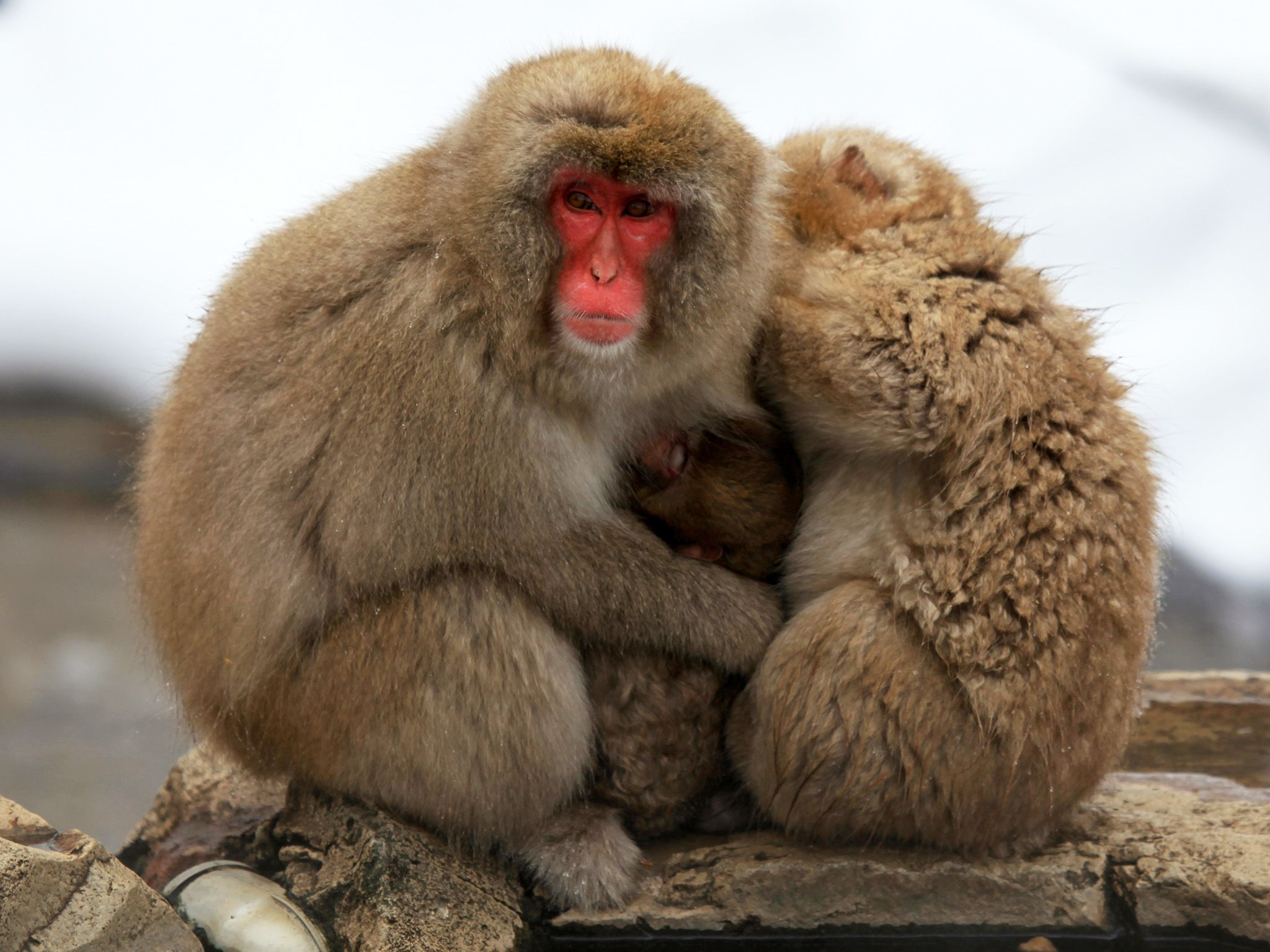 Nagano Prefecture, Japan:  Snow monkeys. This image is from Animal Fight Club. [Photo of the day - May 2018]