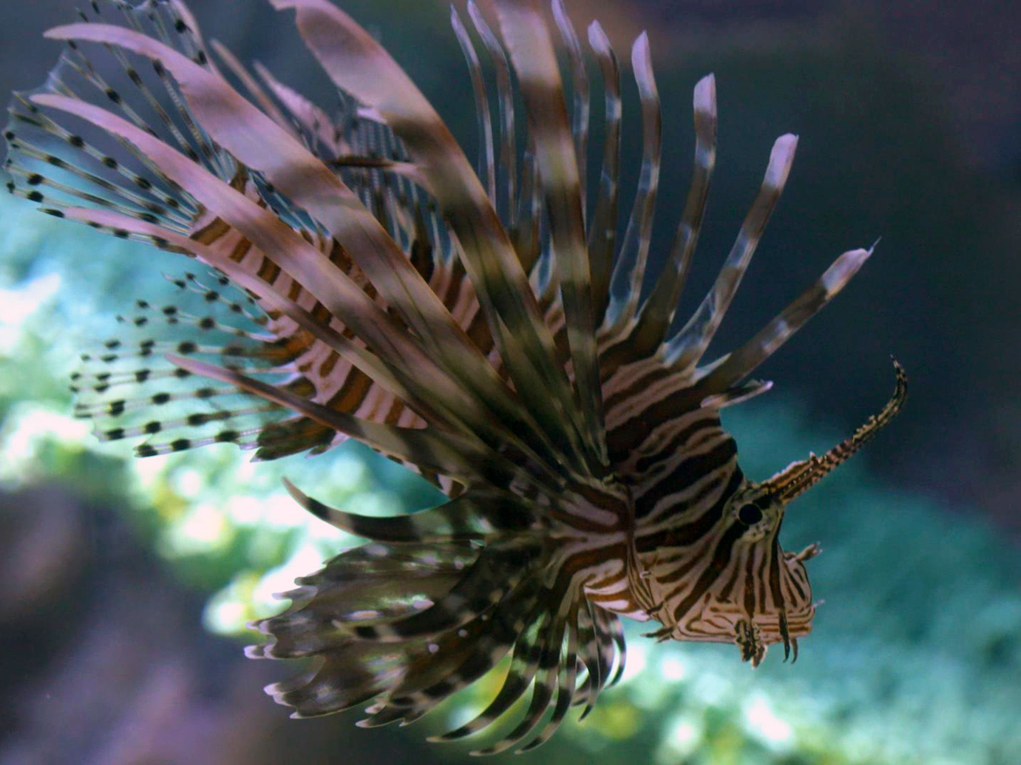 Cancun, Mexico:  A lionfish swims in its tank at the Interactive Aquarium Cancun.  This image is... [Photo of the day - May 2018]