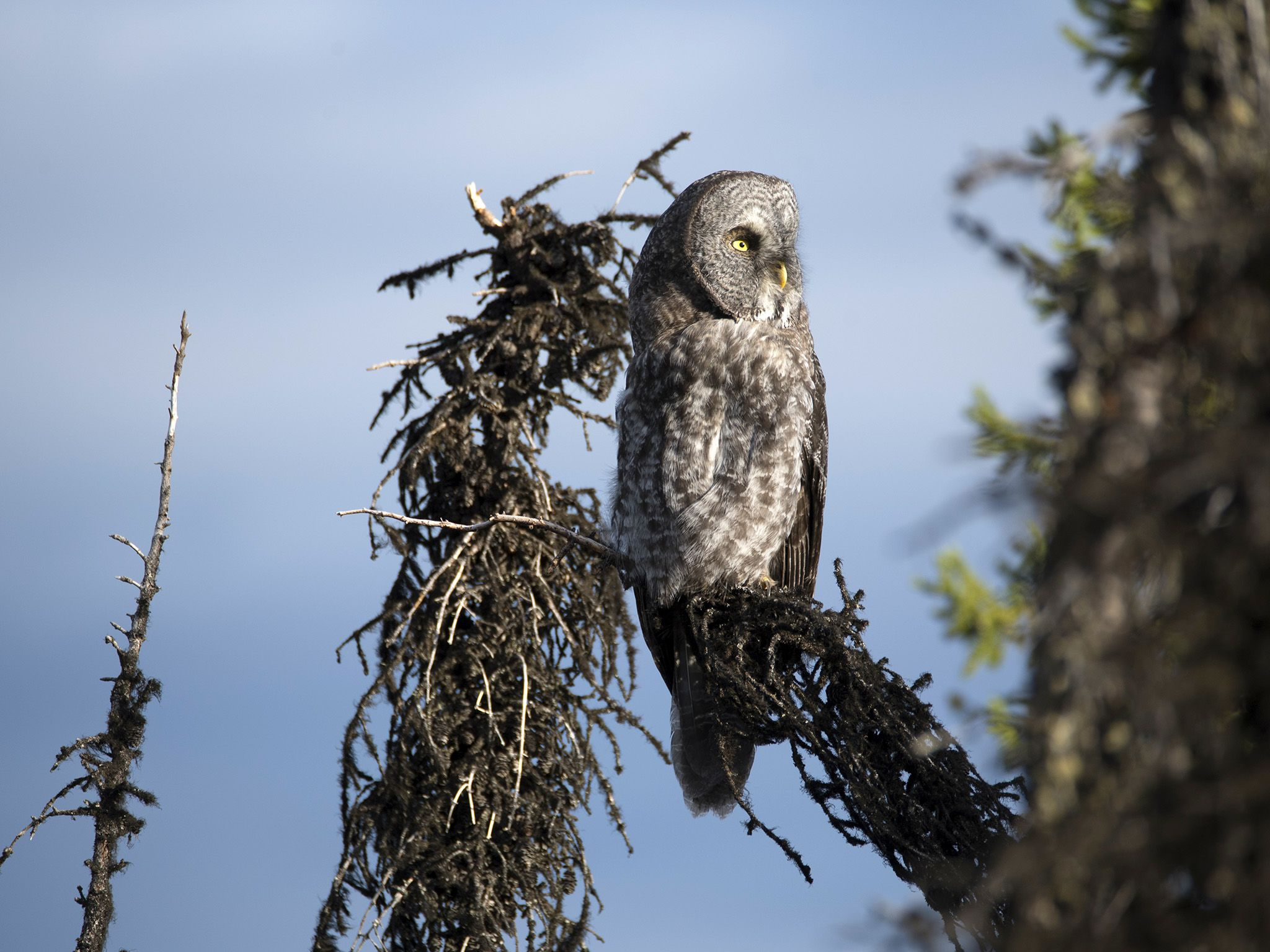 Fairbanks, AK:  A Great Gray Owl sits perched atop a tree.  This image is from Alaska's Grizzly... [Photo of the day - May 2018]