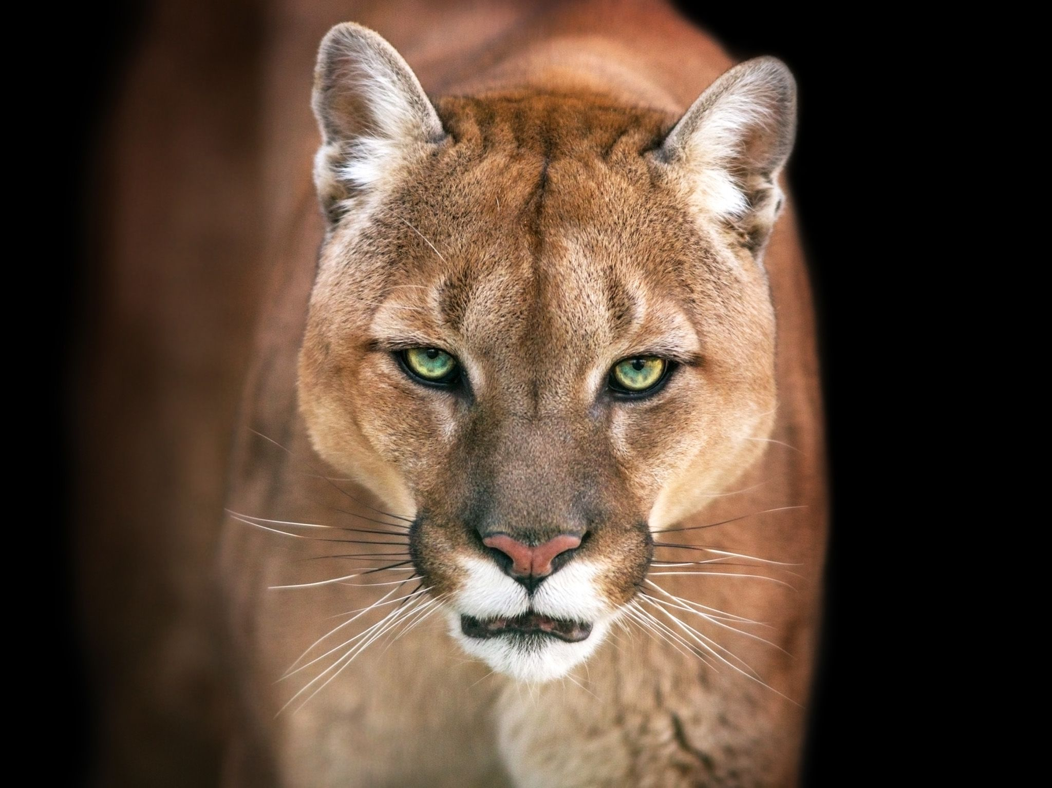 Puma.  This image is from Animal Fight Club. [Photo of the day - 五月 2018]