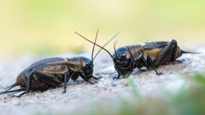 A male field cricket's love song is... [Photo of the day - 19 MAY 2018]