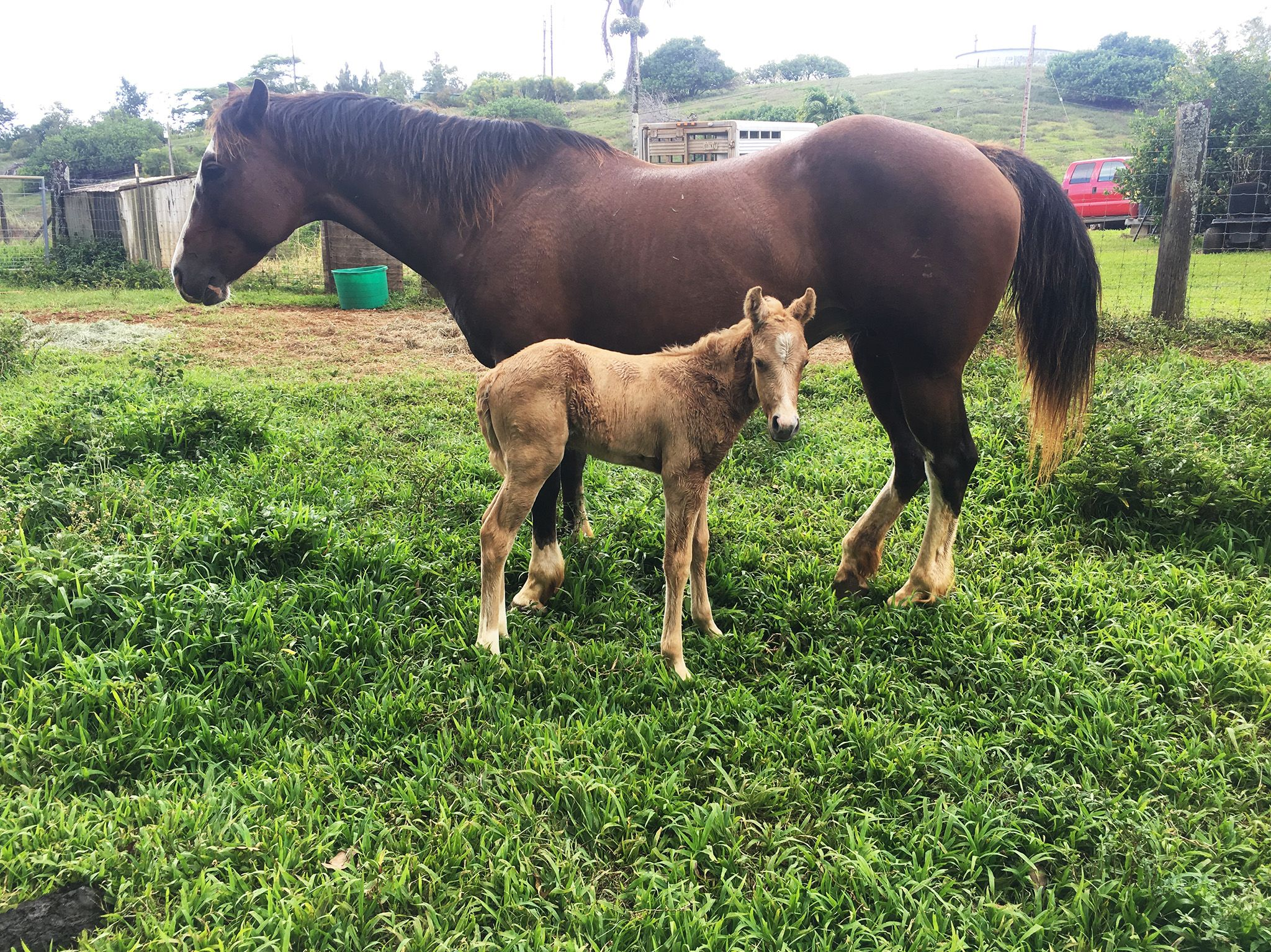Kauai, HI:  Royal the baby horse and mom Sapphire. This image is from The Adventures of Buckeye... [Photo of the day - May 2018]