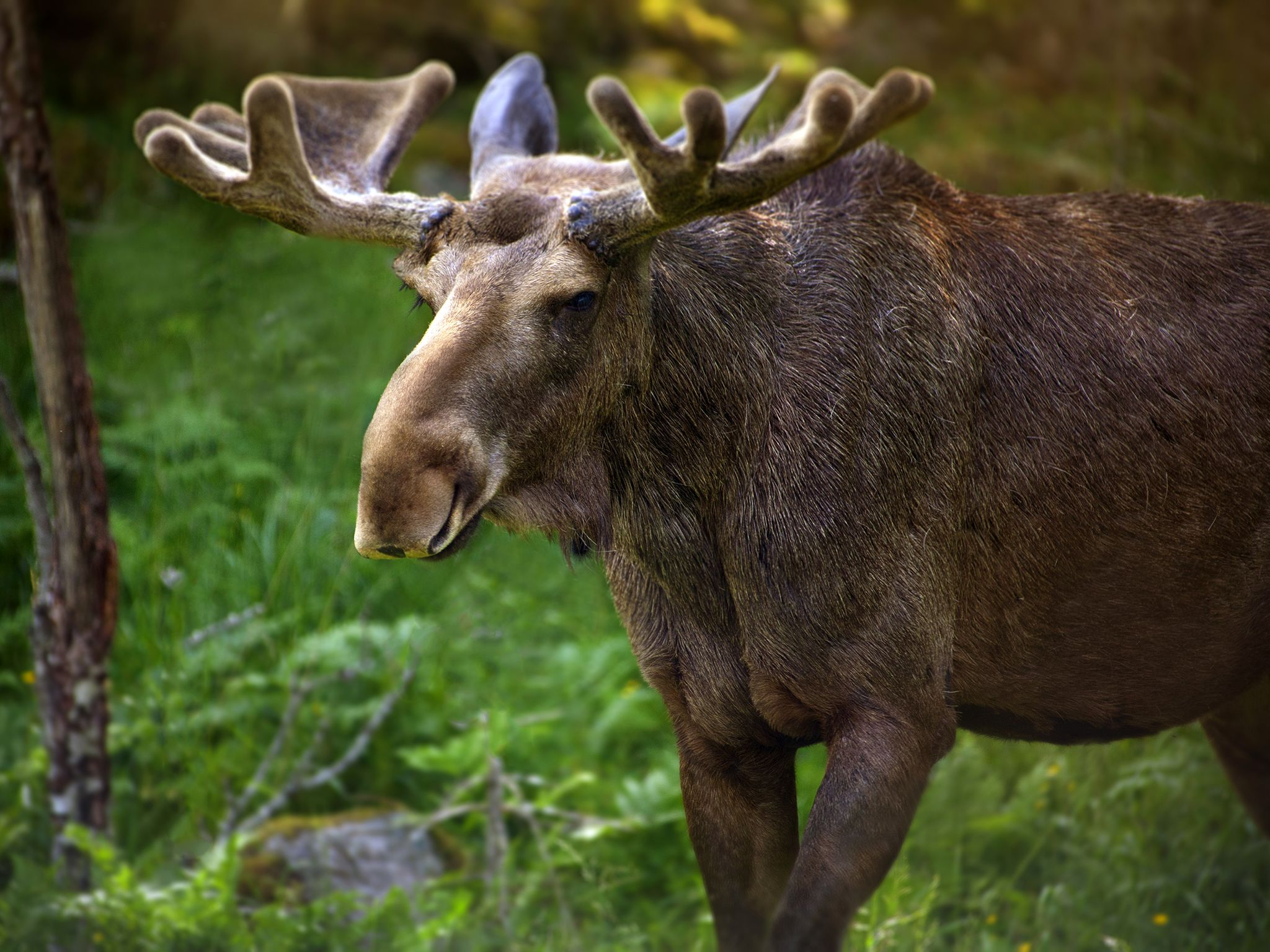 Moose in Sweden. This image is from Animal Fight Club. [Photo of the day - May 2018]