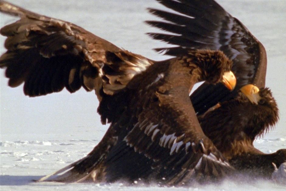On the peninsula of Kamchatka in Russia's Far East is a dramatic landscape, Stellar's Sea Eagles ... [Photo of the day - آوریل 2012]