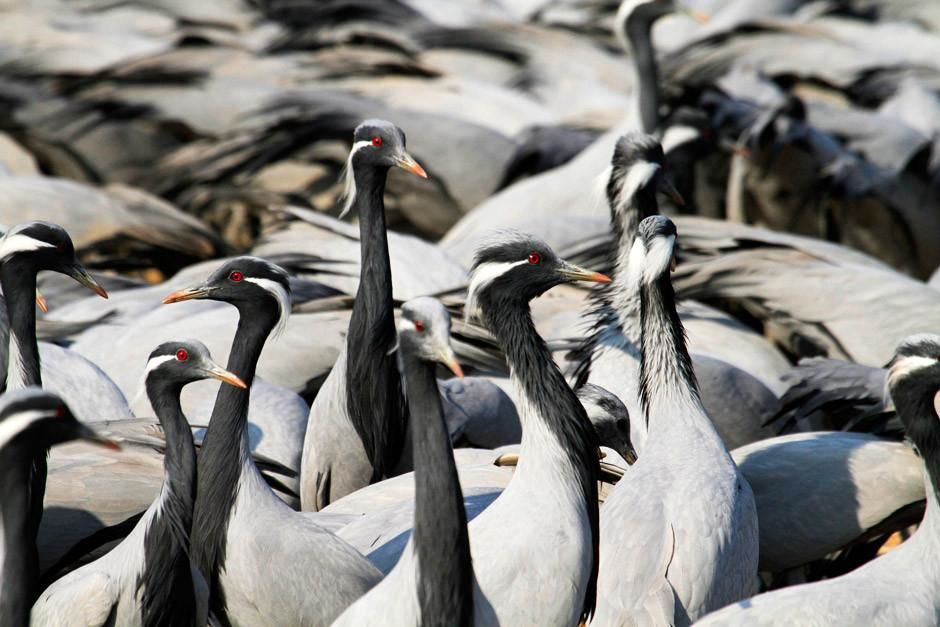 Gir National Park, Gujarat, India: A large group of Common Cranes scout out their territory.