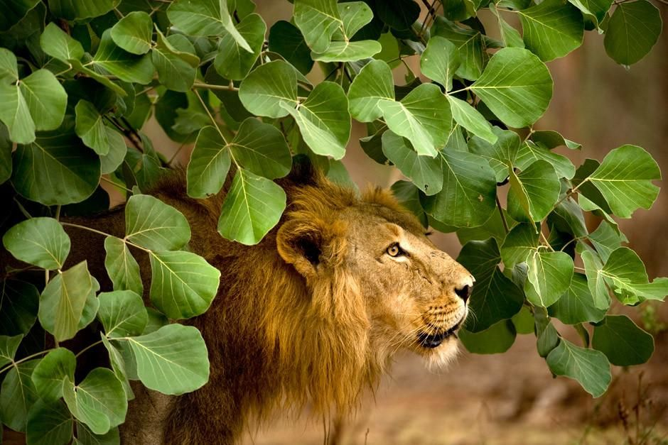 Gir National Park, Gujarat, India: An adult male Asiatic Lion stands under green foliage.