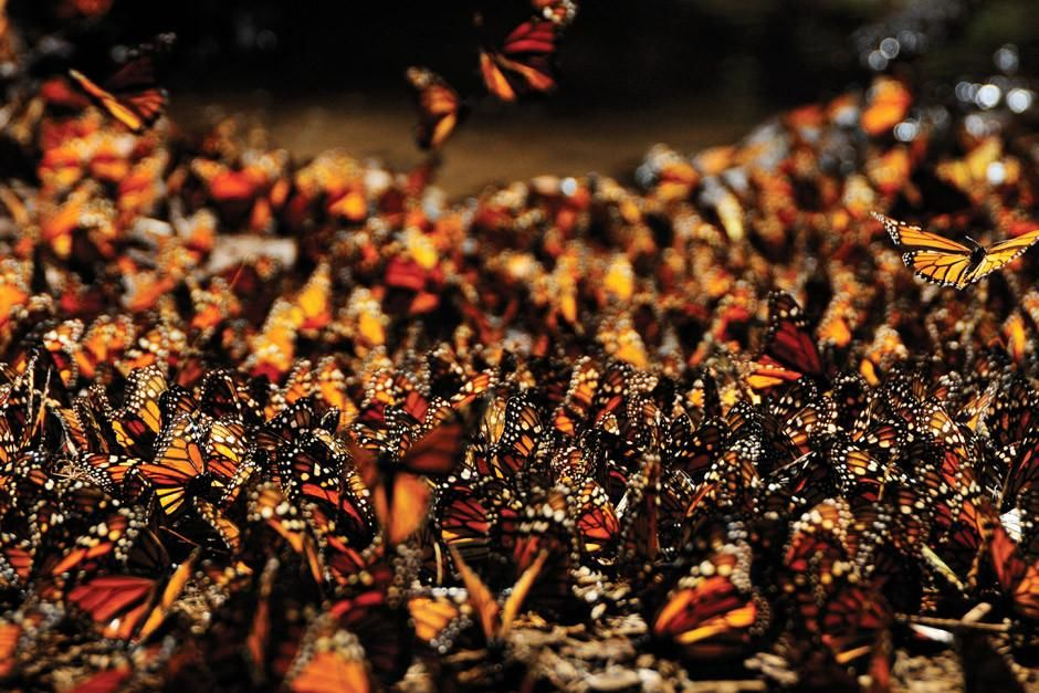 Michoacan, Mexico: No single monarch butterfly completes its migration from Mexico to as far nort... [  -  2012]