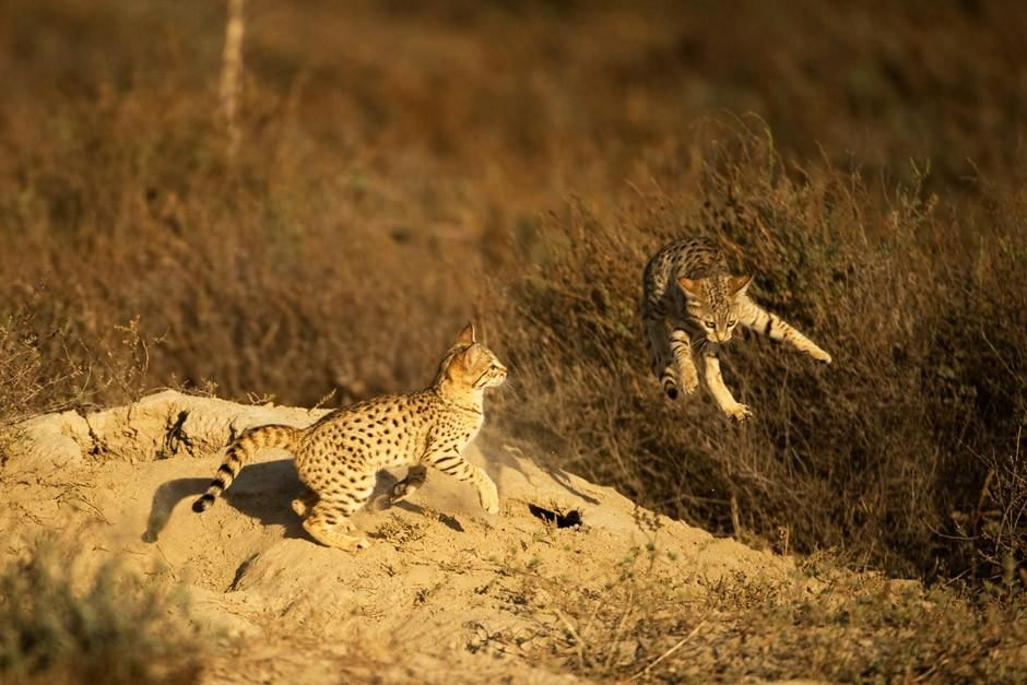  Two Desert Cats playfully fight with one another while one of them flies through the air over a ... [  -  2012]