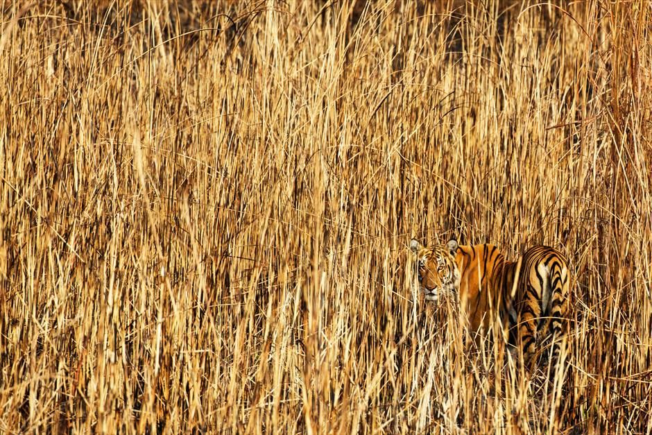 Assam, Inde: Le camouflage ultime, une tigresse rôde à travers les hautes herbes des prairies s... [Photo of the day - avril 2012]