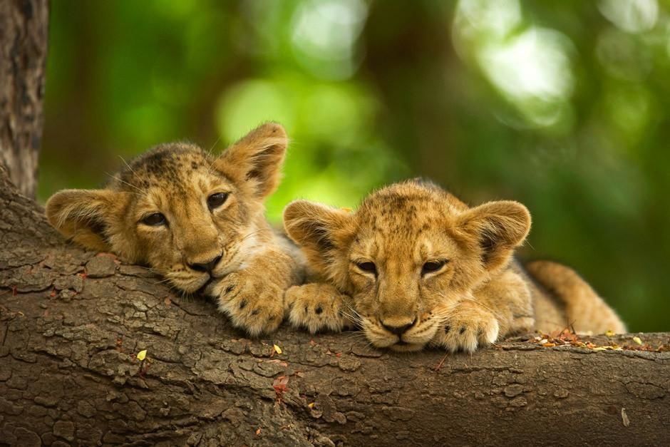 Two asiatic lion cubs lying on tree trunk in Gir National Park.