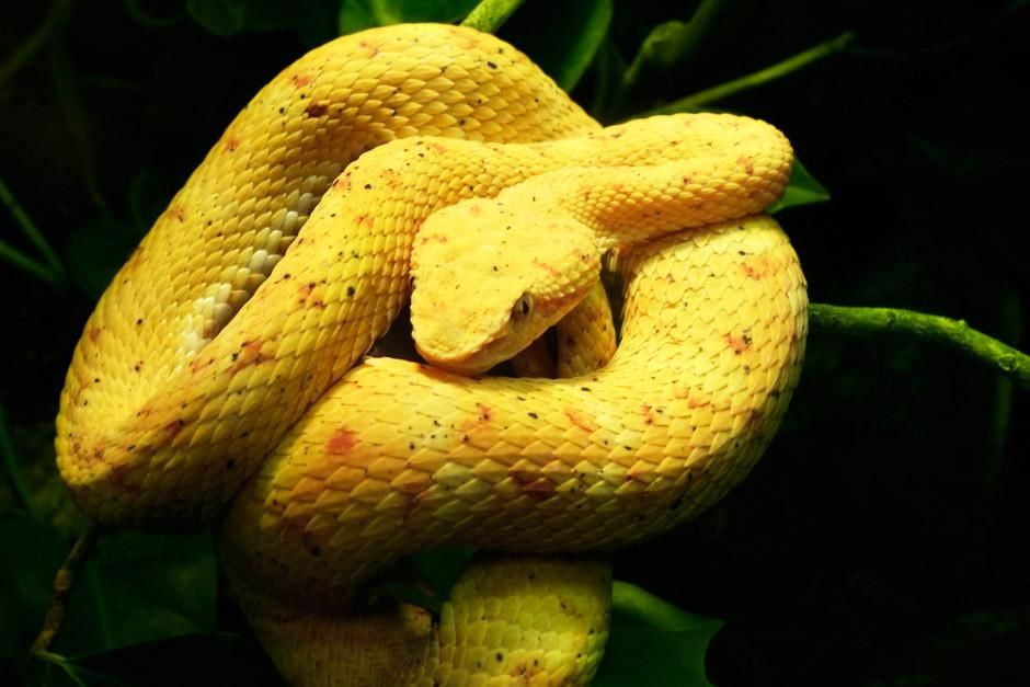 An Eyelash Palm Pit Viper rests on some jungle vines, coiled and possibly ready to strike. This i... [Dagens billede - april 2012]