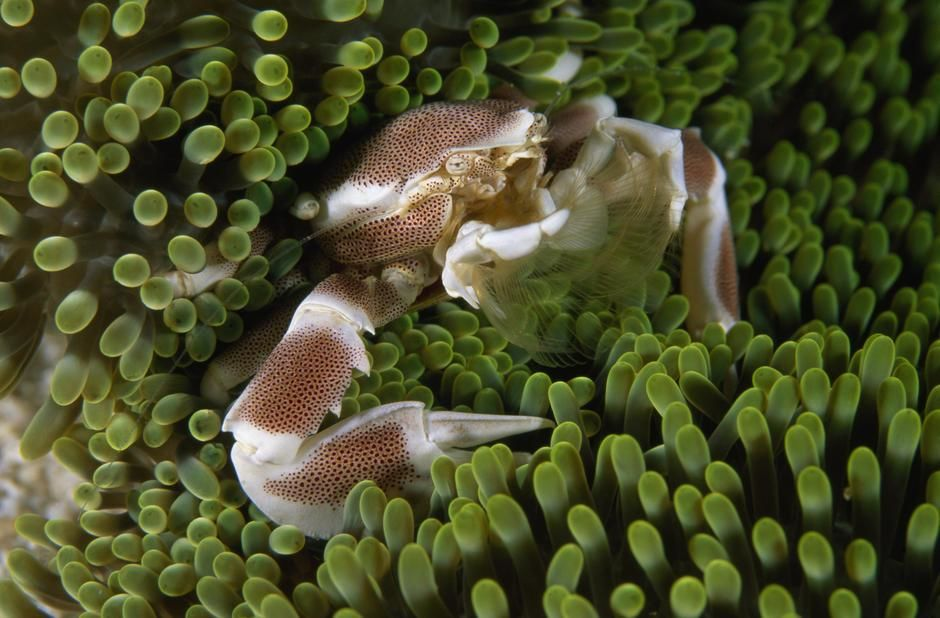 A porcelain crab in sea anemones in the Raja Ampat Islands. Indonesia. [Fotografija dneva - september 2011]