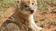 VIDA NO VENTRE: Gatos e Leões programa