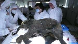 Mamutsebészet fotó