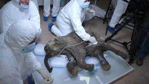 Kirurgi på mammutunge foto