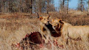 Lion Army Foto