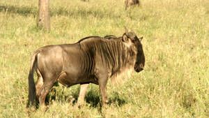 Wildebeest, Zebras, Hyenas, More photo