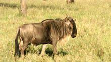 Wildebeest, Zebras, Hyenas, More show