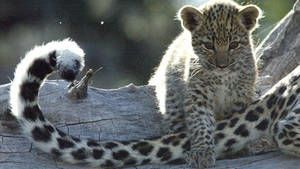 Leopards Billed