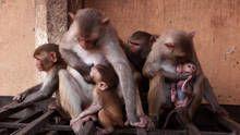 Opičí zloději pořad