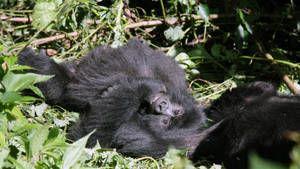 הגורילות בקונגו תמונה