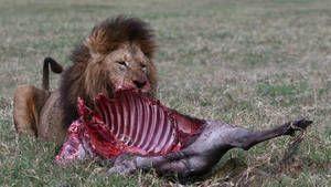 Lions d'Afrique photo