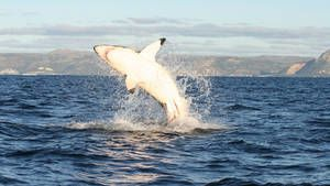 Grand requin blanc photo
