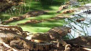 Amazing Crocs photo