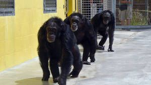 Chimps-Gallery photo