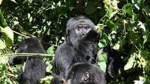 Das Gorilla-Massaker Foto