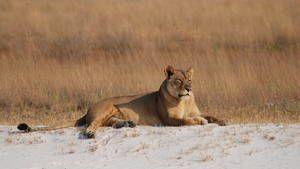 Die letzte Löwin Foto