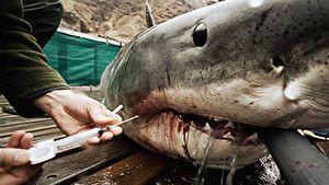 Tubarões Brancos fotografia