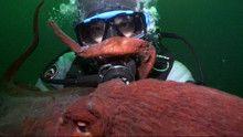 Massive Cephalopods show