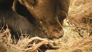 Bodiless Bear photo