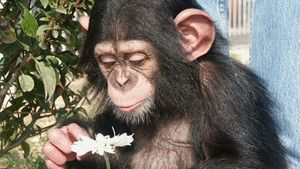 Chimps photo