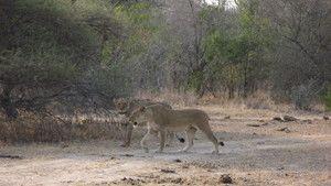 Caught On Safari photo