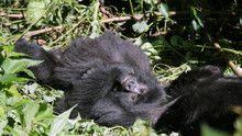 Gorilla Murders show
