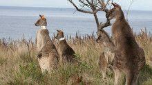 Kangaroo Kaos show