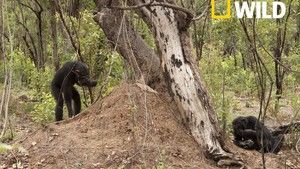 Chimps: Nearly Human photo