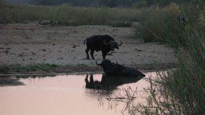 Caught On Safari 照片