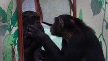 Human Ape 節目
