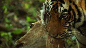 Comerţul cu tigri imagine
