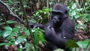 Mystisk gorilla Bilde