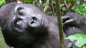 Mystiska gorillor foto